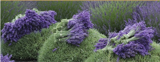 2010-EXPO-The-Victorian-Gardens-lavender